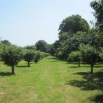 Ryepeck Meadow Orchard next to the Thames at Shepperton